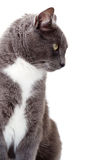 Chat gris. Images stock