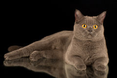 Chat gris Photos libres de droits