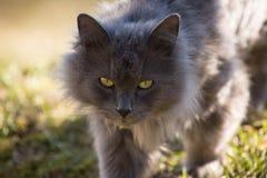 Chat gris Images libres de droits