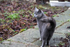 Chat gris Photo stock