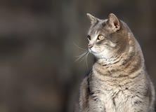 Chat gris Photos stock