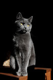 Chat gris Photo libre de droits