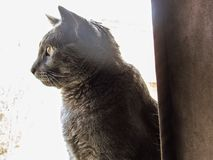 Chat gris Photographie stock
