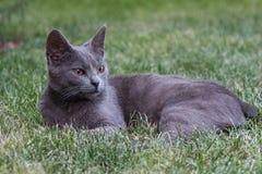 Chat gris Photos libres de droits