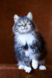 Chat gris avec de grands yeux Image stock