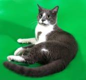 Chat gris avec les taches blanches se trouvant sur le vert Photographie stock libre de droits