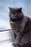Chat gris avec les yeux oranges Photos stock