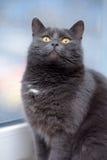 Chat gris avec les yeux oranges Photographie stock libre de droits