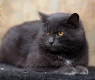Chat gris avec les yeux oranges Photo libre de droits