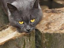 Chat gris avec les yeux tristes Photographie stock