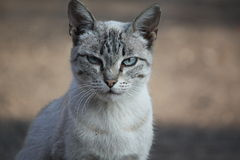 Chat gris-clair Photo libre de droits