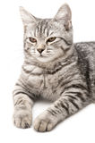 Chat gris d'isolement Images stock