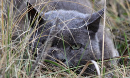 Chat gris dans l'embuscade Photo libre de droits