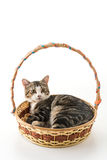 chat gris dans le panier Photo stock