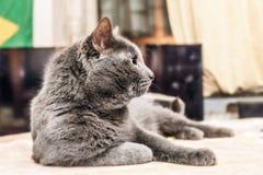 Chat gris dans le profil images libres de droits