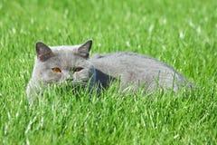 Chat gris de brittish dans l'herbe Photo libre de droits