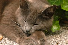 Chat gris de minou de sommeil Photos stock