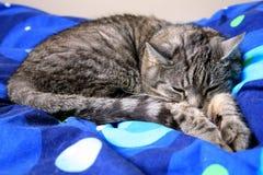 Chat gris de sommeil. Photographie stock libre de droits