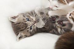 Chat gris de tigre Photos stock