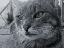 Chat gris domestique de plan rapproché, heure pour le repos image libre de droits
