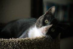 Chat gris et blanc Image stock