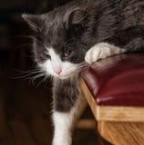 Chat gris et blanc avec la patte laissée tomber vers le bas Photos libres de droits