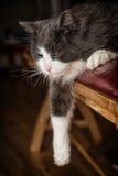 Chat gris et blanc avec la patte laissée tomber vers le bas Photo stock