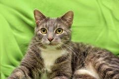 Chat gris et blanc sur un vert Image stock