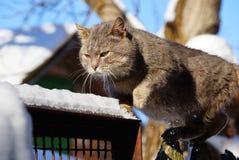 Chat gris marchant sur une barrière dans la neige Images libres de droits