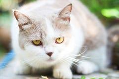 Chat gris mignon de pli d'écossais Photos libres de droits