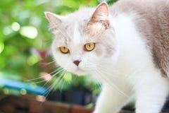 Chat gris mignon de pli d'écossais Images libres de droits
