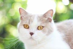Chat gris mignon de pli d'écossais Image stock