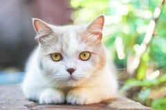 Chat gris mignon de pli d'écossais Photo libre de droits