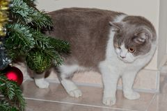 Chat gris mignon regardant les babioles d'arbre de Noël images stock
