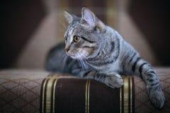 Chat gris mignon sur un sofa Image stock