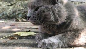 Chat gris pelucheux avec les yeux ronds dehors banque de vidéos