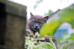 Chat gris pelucheux rural image stock