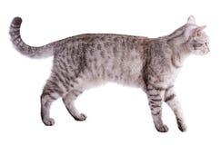 Chat gris rayé drôle d'isolement sur le fond blanc Photos libres de droits