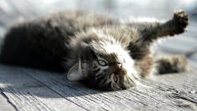 Chat gris se dorant au soleil banque de vidéos