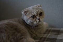 Chat gris se reposant sur le divan images stock