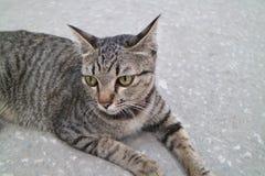 Chat gris se reposant sur le plancher de ciment Photographie stock libre de droits