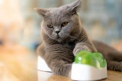 Chat gris se trouvant heureusement sur le plancher dans la chambre photographie stock