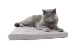 Chat gris se trouvant sur un oreiller d'isolement sur le fond blanc Photos libres de droits