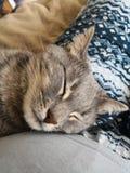 Chat gris somnolent paisible photographie stock libre de droits