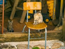 Chat gris sur une chaise à une ferme Images libres de droits