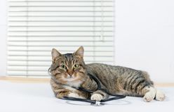 Chat gris très mignon dans une clinique vétérinaire photographie stock libre de droits