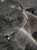Chat gris, vue de profil Photo libre de droits