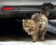 Chat hirsute au pare-chocs de la voiture image libre de droits