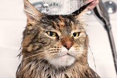 Chat humide dans le bain photo libre de droits