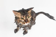 Chat humide pelucheux dans la salle de bains Sur un fond blanc photos stock